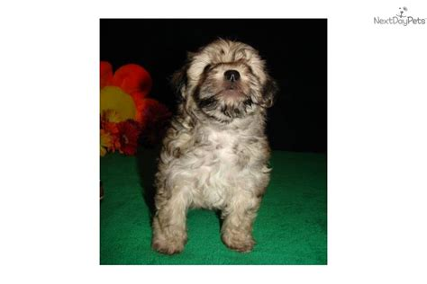 yorkie bichon mix price yorkiepoo yorkie poo puppy for sale near joplin missouri 7d46878f 1ab1