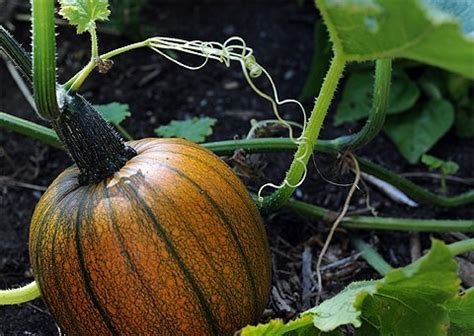 whole pumpkin preservation preserving pumpkin and 2 recipes the tangled nest