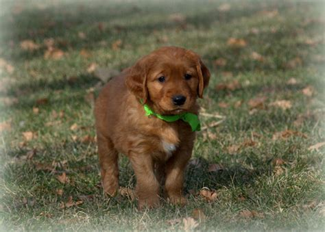 golden retriever puppies wichita ks view ad golden retriever puppy for sale kansas wichita