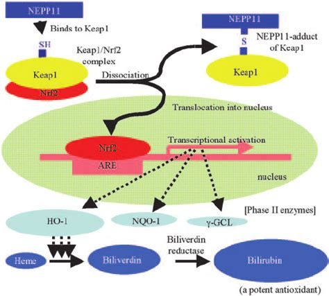Detox Stabile After Treament Phase by Neuroprotection By Nepp11 In Vitro And In Vivo A