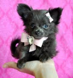 Black long haired chihuahua puppy stunning long hair princess