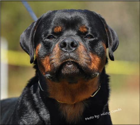 rottweiler puppies in va german rottweiler puppies rottweiler puppies rottweiler breeder virginia