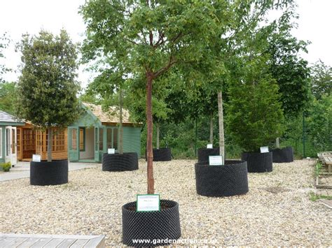 top 28 large garden trees 17 best ideas about trees in pots on pinterest potted wedding