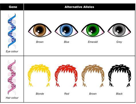 eye color genes alleles bioninja