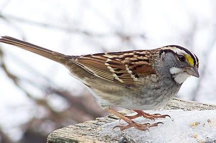 dark eyed junco, identification, all about birds cornell