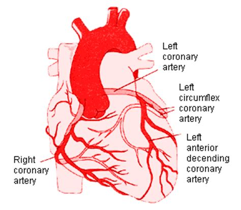 diagram of coronary arteries stemi review cardiology