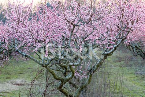 alberi di pesco in fiore alberi di pesco in fiore al tramonto fotografie stock