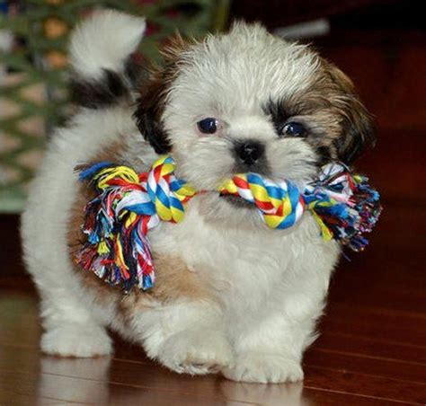 shih tzu chewing 1000 images about shih tzu on shih tzus hair chalk and pets