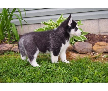 siberian husky puppies for sale in kansas 17 best ideas about huskies for sale on baby huskies for sale siberian