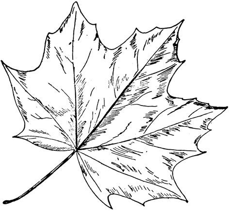 how to draw a maple leaf in adobe illustrator easy step by