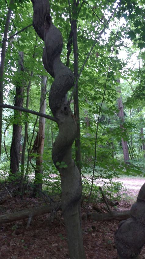 7 trees that look great in both the fall and the winter hiking what is this tree with a spiral shaped trunk in massachusetts the great outdoors