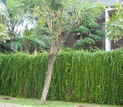 pilihan tanaman rambat  mempercantik tampilan rumah