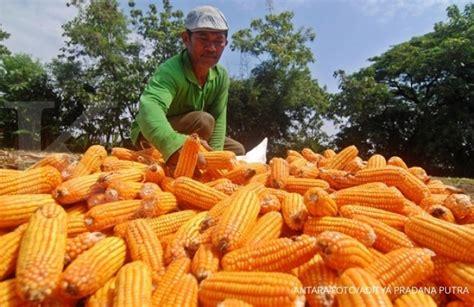 Importir Jagung Pakan Ternak japfa mengantisipasi pembatasan impor jagung