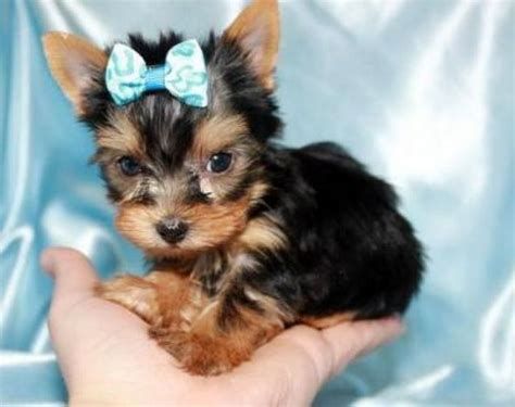 yorkie terrier for free 25 best ideas about teacup terrier on teacup puppies