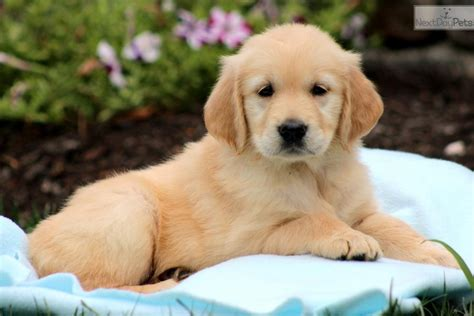 golden retriever puppies virginia golden retriever adults for sale virginia literaturemini ml