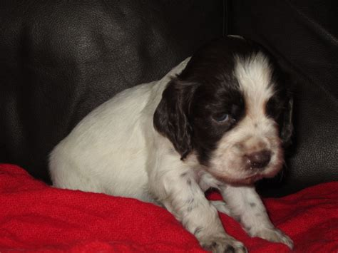 white cocker spaniel puppies chocolate and white cocker spaniel puppies bristol bristol pets4homes