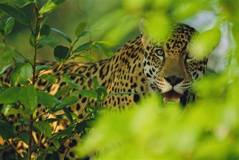 imagenes animadas de un jaguar ameisen f 252 r den amazonas merkel in brasilien wwf blog