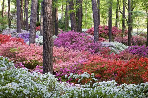 Callway Gardens blooming of the world azaleas has arrived at