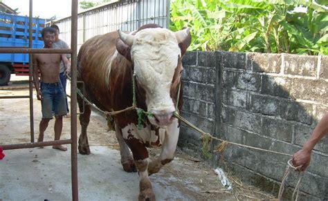 Bibit Sapi Terbaru usaha penggemukan sapi lembu joyo lokasi penggemukan