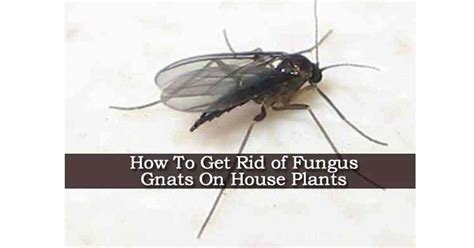 how to get rid of gnats in kitchen and bathroom what causes gnats in house 28 images how to get rid of