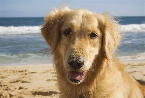 do golden retrievers like water the best breed for your health and personality