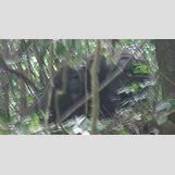 Mountain Gorilla Habitat | 472 x 256 jpeg 21kB