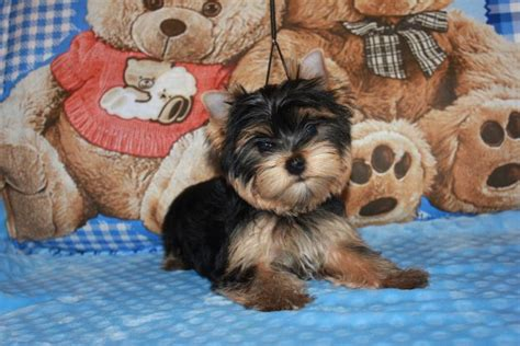 hair styles for a morkie hairstylegalleries com yorkie haircuts for males and females 60 pictures