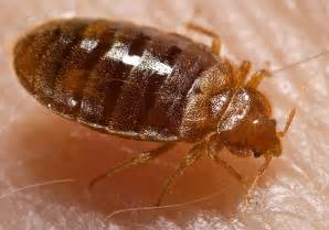 Where Did Bed Bugs Originate Parasite In City All Bing