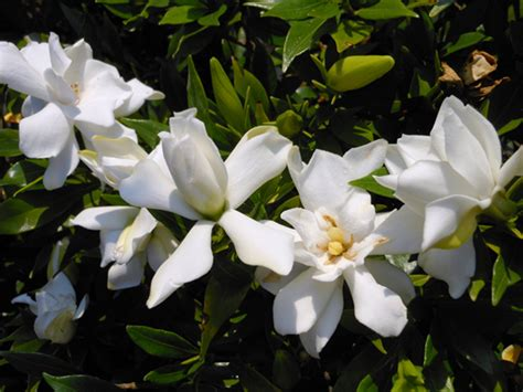 Gardenia Uses Gardenia Uses 28 Images 44 Best Images About Garden