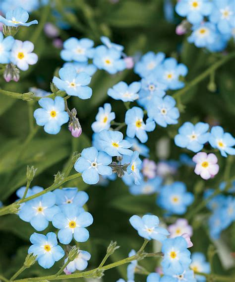 blue flowers picture tiny flowers in bloom light colored your guide to forget me not flowers sunset