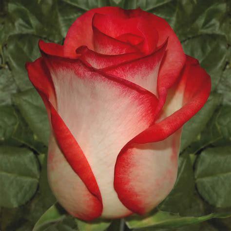 imagenes rosas sangrando el mensaje de una rosa seg 250 n su color taringa