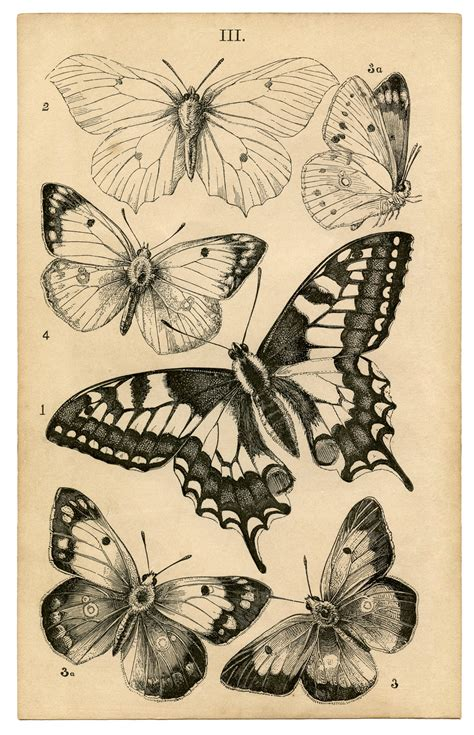printable retro art antique butterfly print natural history the graphics fairy