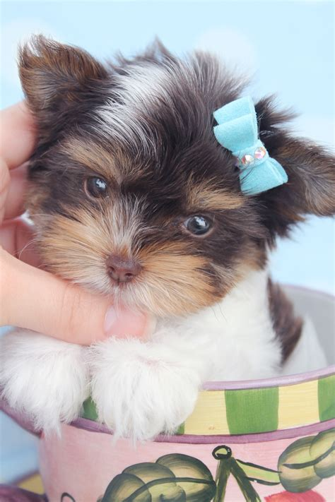 biro yorkies for sale biro yorkie puppies for sale at teacups puppies puppies yorkie puppy