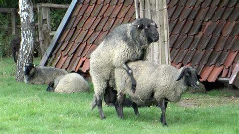 Paarung Der Schafe Tiere Bei Der Paarung