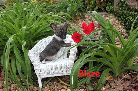 puppies for sale sarasota chihuahuas for sale sarasota breeds picture