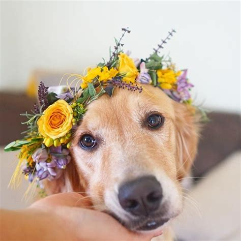 golden retriever rescue sa 160 best animals with flower crowns images on animals flower power and