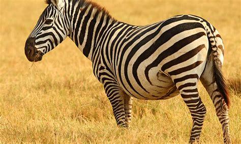 imagenes de animales cebra una cebra 161 con hambre supergracioso