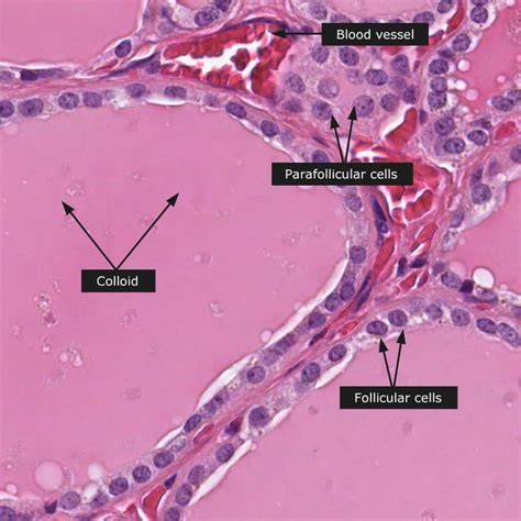 normal thyroid gland histologia embriologia