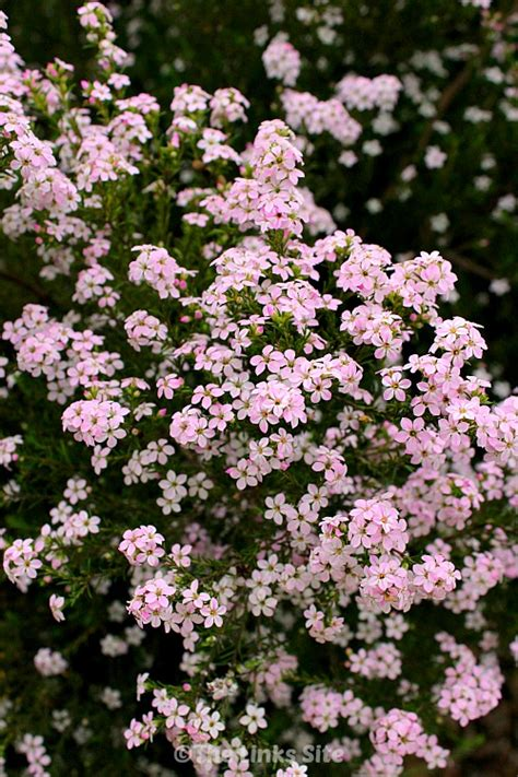 Diosmas A Very Hardy Plant For Your Garden The Links Site Flowering Shrubs For Small Gardens