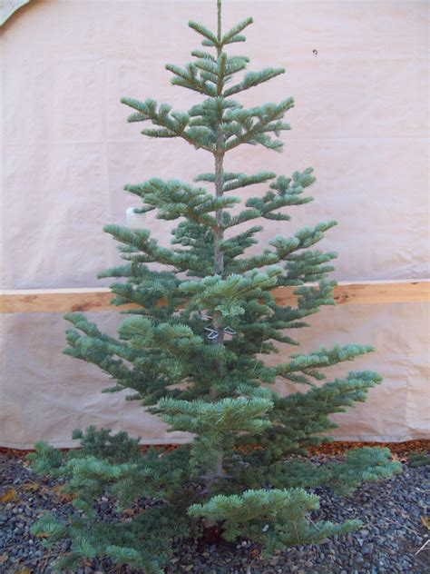 silver tip christmas tree fishwolfeboro