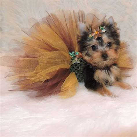 miniature yorkie price miniature yorkie pup for sale niki teacup yorkies sale