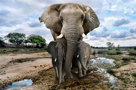 save  african elephant focus  turn  poverty