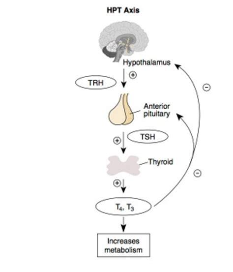 endocrine hypothalamus development embryology