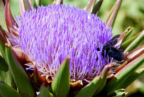 fiore di carciofo fiore di carciofo artichoke flower frammenti di realt 224