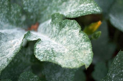rid  powdery mildew  plants