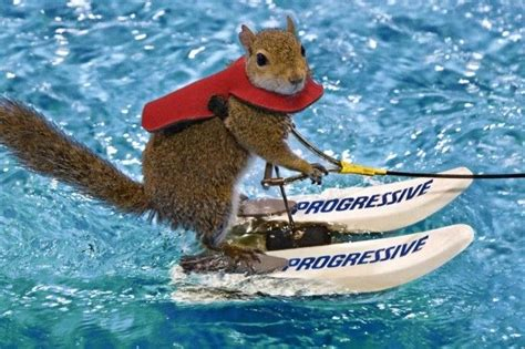 1 year water skiing water skiing squirrel he s usually at the boat show every