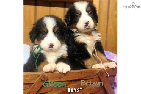 puppies for sale in upstate ny bernese mt puppies upstate ny bernese mountain puppy for sale near