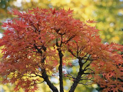 maple tree symbolism tattoo japanese japanese maple tree tattoo