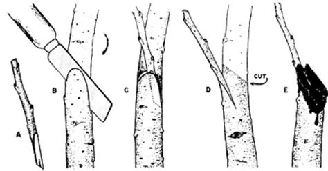 grafting diagram grafting and budding fruit trees methods home