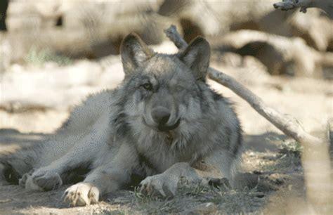 wolves california wolf center desertusa